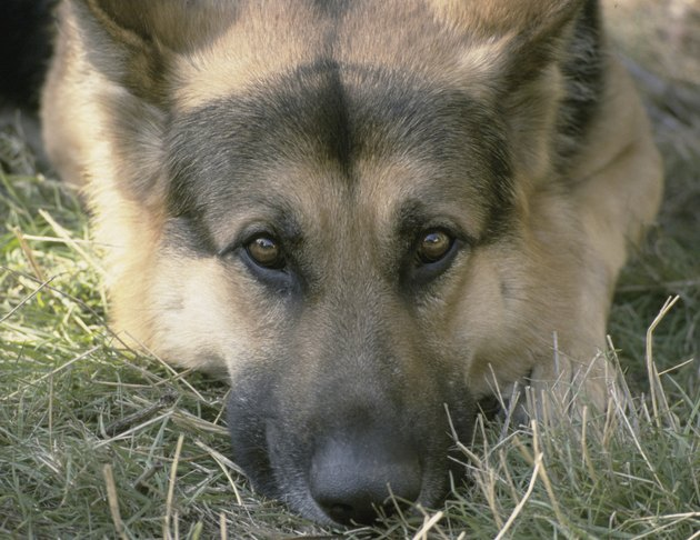 German Shepherd dog lying in grass