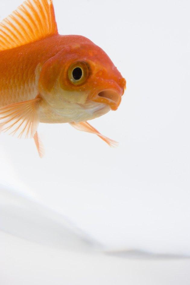 Kutil Ikan