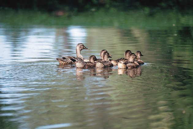 Mallard duck and babies floating in water