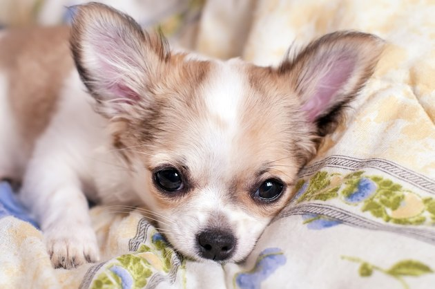 sweet chihuahua puppy luxuriating in bed