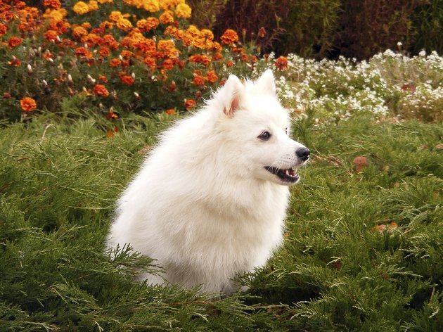Japanese spitz barking