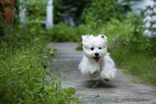 cute westie dog run fast like flying