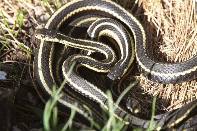 Garter Snakes mating