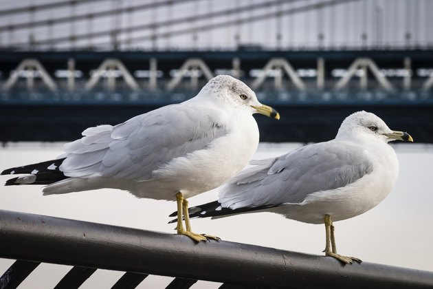 Seagulls at  Brooklyn Bridge Park