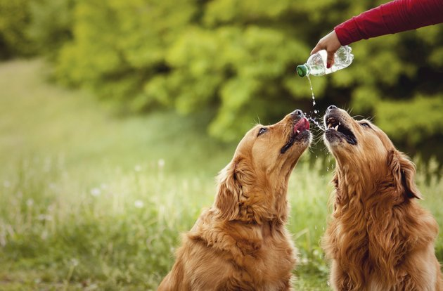 Two dogs drink water