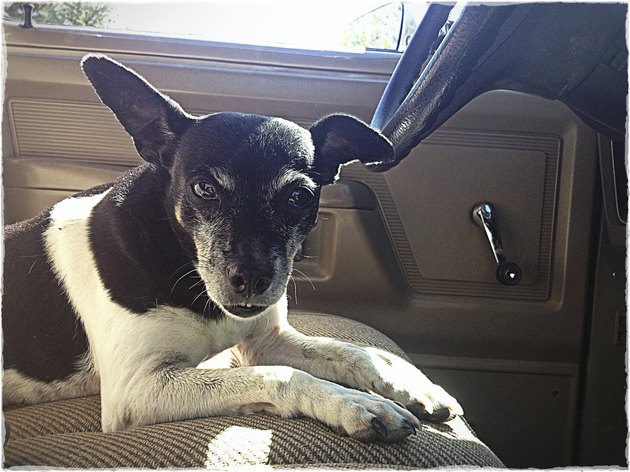 Rat Terrier Farm Dog Sitting in an Old Truck