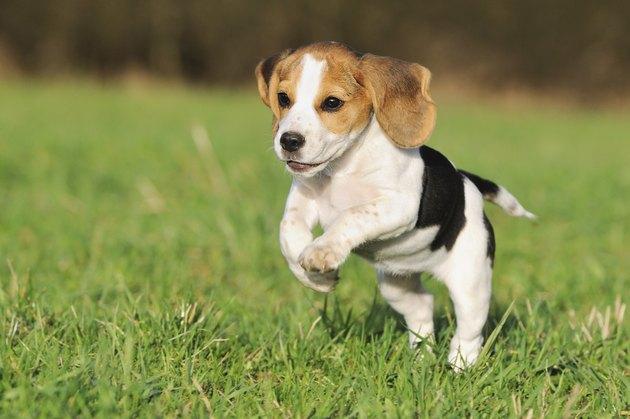 Beagle puppy 3 months running