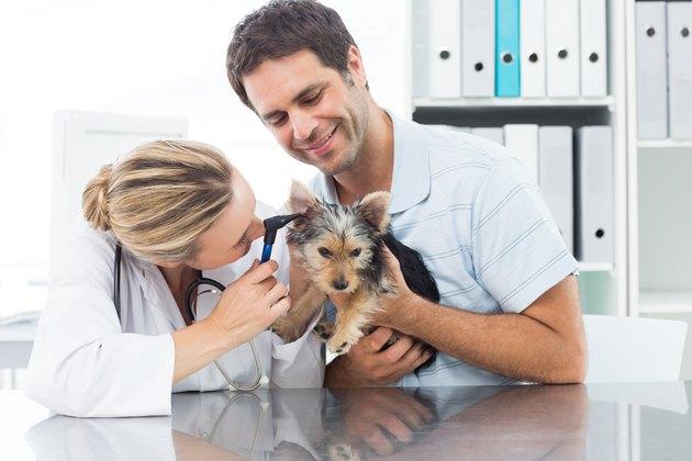Veterinarian examining ear of puppy