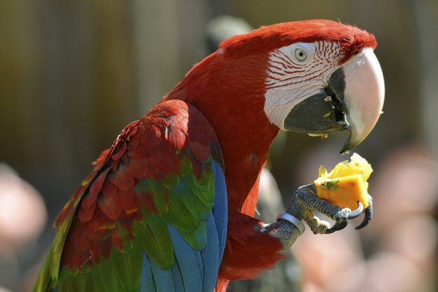 Portrait Scarlet macaw eating fruit