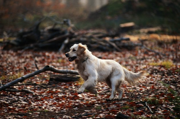 Dog running on dry leaves