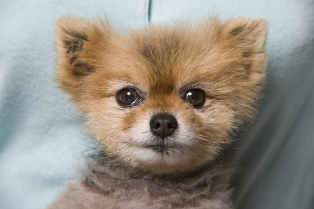 Close-up of Pomeranian puppy