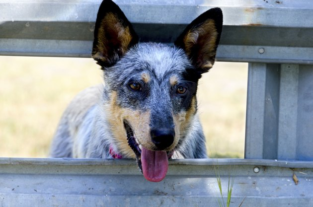 Blue Heeler at the Corral Gate