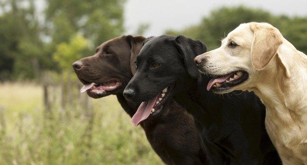 three labradors