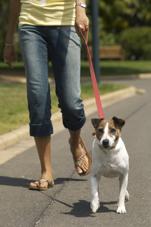 Young woman walking jack russell terrier on street, low section