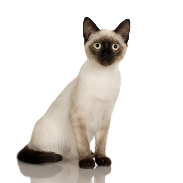 Studio portrait of Siamese cat