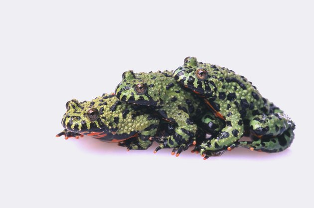 Stacked Oriental Fire-Bellied Toads