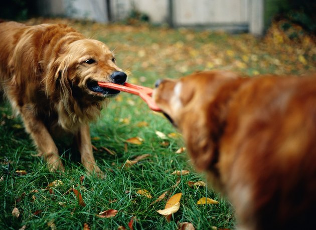 Golden Retrievers Playing Tug of War with Dog Toy