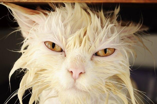 Wet cat