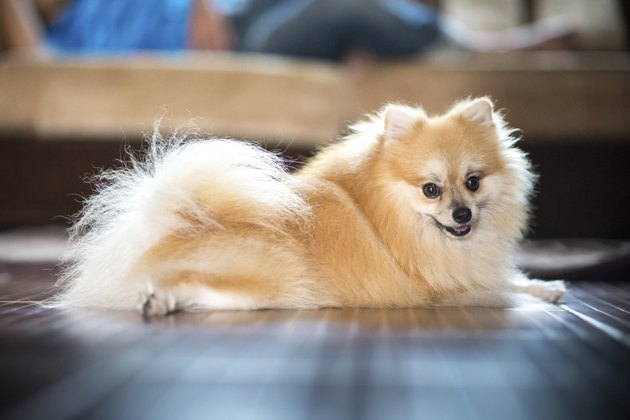 Pomeranian in home