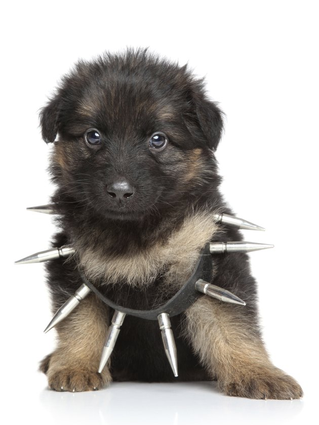 German shepherd puppy in dog collar