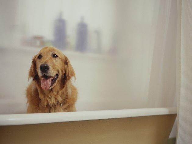 Golden Retriever sitting in bathtub