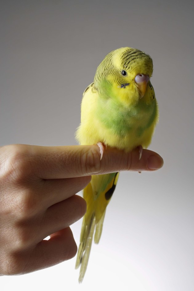 Budgie bird perched on finger