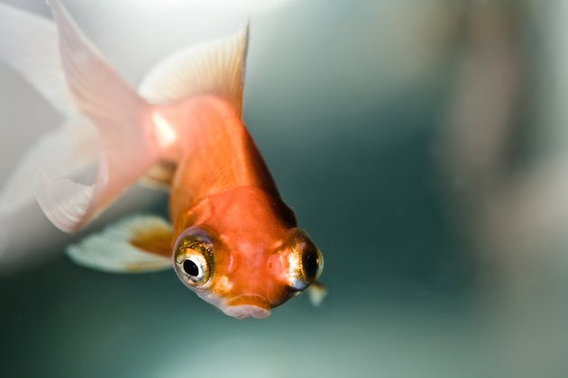 Close-up of goldfish