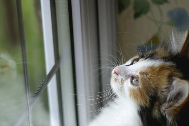 Close-up of a kitten standing against a window looking up