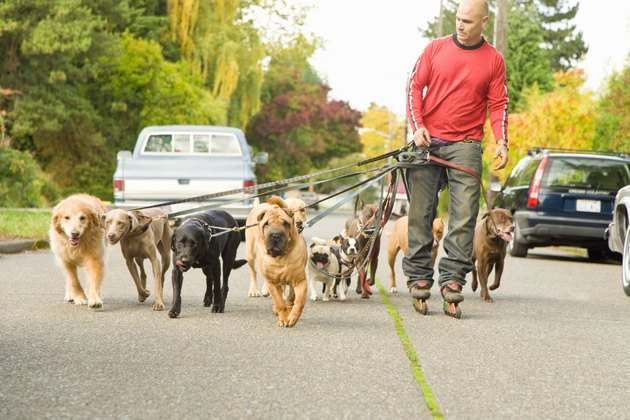 Man walking multiple dogs