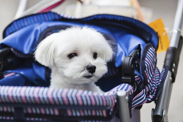 cute Maltese dog in a baby buggy