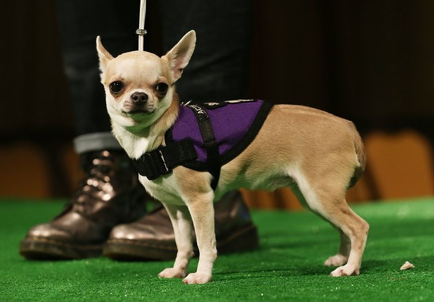 Westminster Kennel Club Holds Press Conference Ahead Of Dog Show
