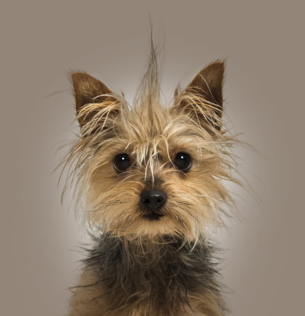 Yorkshire Terrier with a crest, facing, on brown background