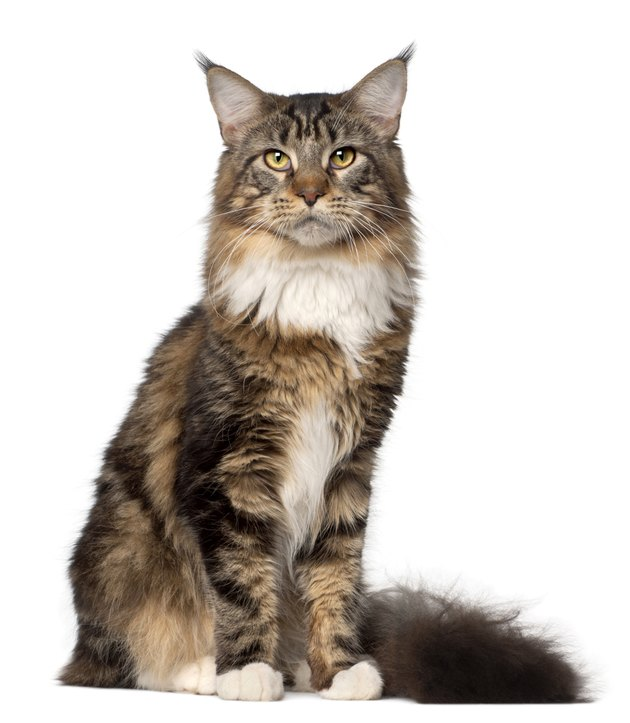 Portrait of Maine Coon cat, 10 months old, sitting
