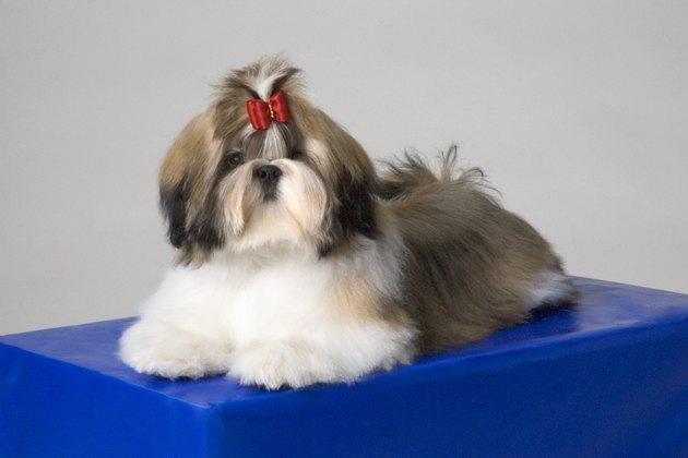 Portrait of Shih-Tzu puppy