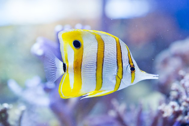 Chelmon rostratus (Copperband Butterflyfish)