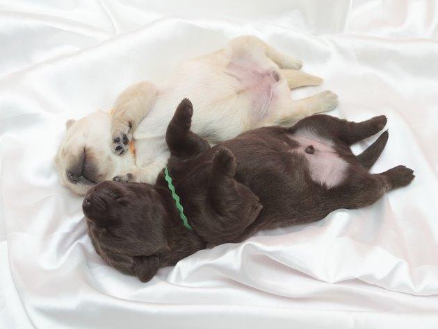 chocolate and yellow labrador retriever puppies
