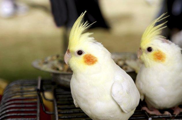 White and pale yellow Lutino cockatiel