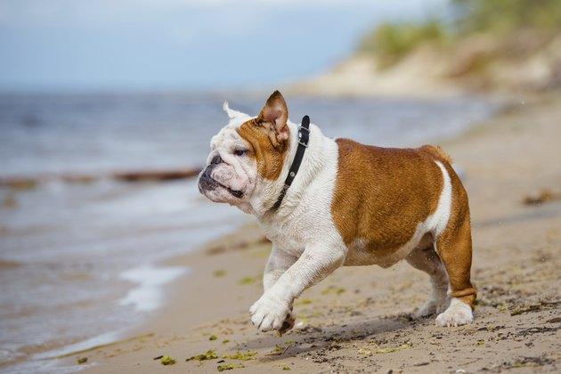 english bulldog on the beach