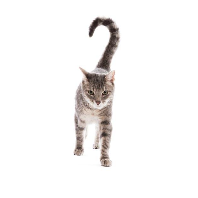 Tabby Cat Walking