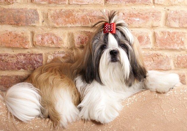 breed of dog shih tzu