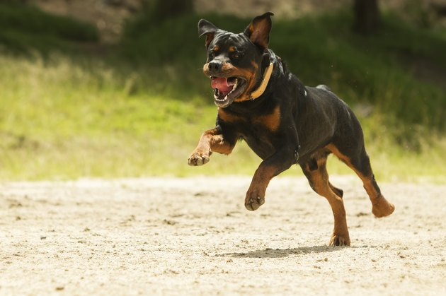 Off leash rottweiler