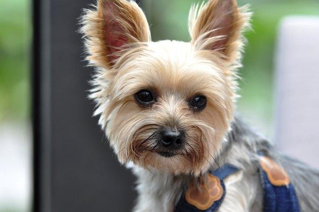 portrait of Yorkshire Terrier