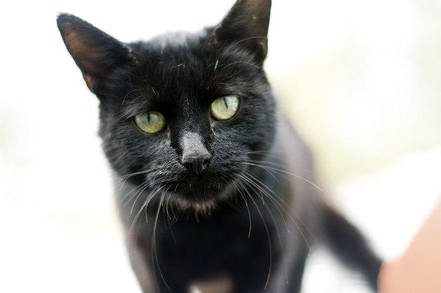 Curious wild black cat