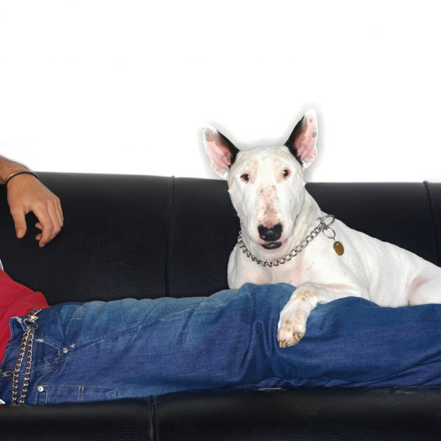 Bull terrier and their human