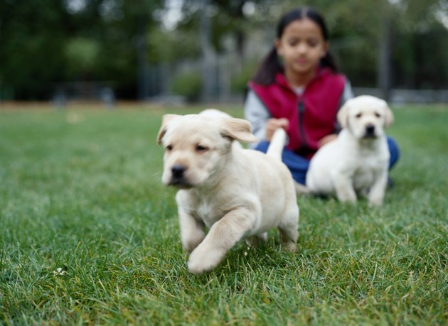 Young Girl with Two Yellow Lab Pups