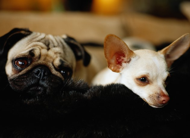 Chihuahua and Pug Sleeping
