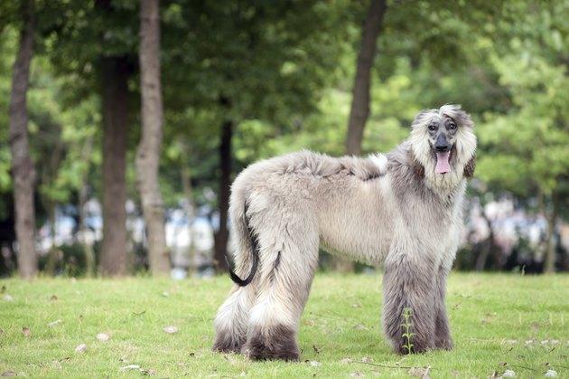 Afghan hound dog standing