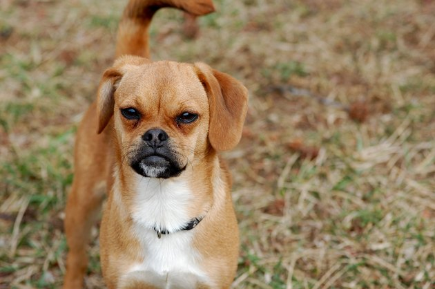 Puggle in Grass looking