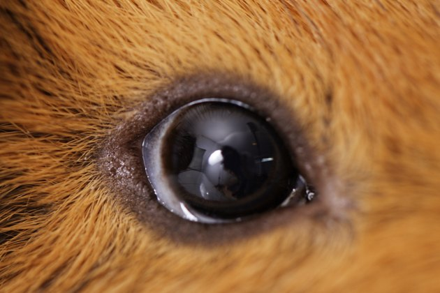 guinea pig eye close-up (macro)