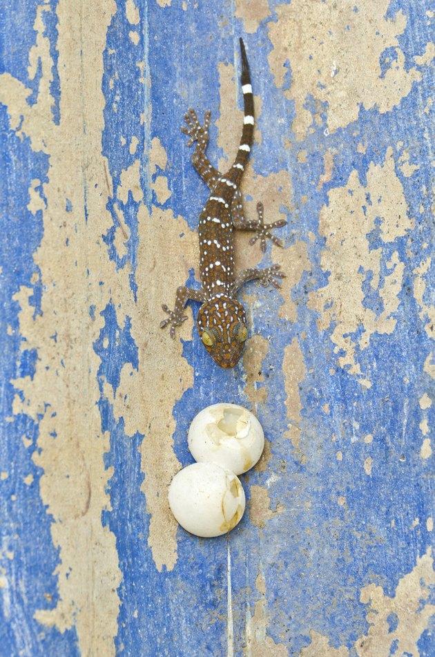 Little gecko
